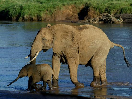An Elephant and Her Calf Cross a River--Photographic Print