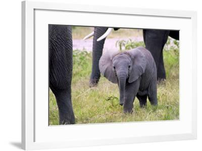 An Elephant Calf Gazes from its Safe Place, Surrounded by the Trunks and Limbs of its Elders-Shannon Switzer-Framed Photographic Print