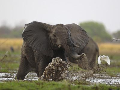 https://imgc.artprintimages.com/img/print/an-elephant-charges-when-startled-by-gunshots-fired-at-poachers_u-l-p6xnyx0.jpg?p=0