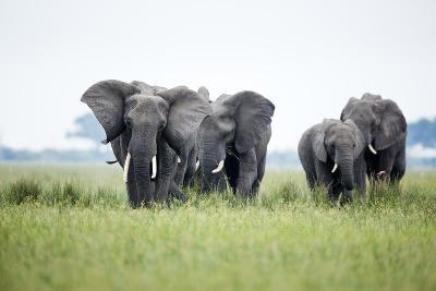 An Elephant Herd in Grassland-Richard Du Toit-Photographic Print