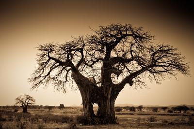 An Elephant-Made Hole in a Large Baobab Tree, Ruaha National Park, Tanzania-Robin Moore-Photographic Print
