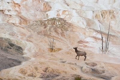 An Elk Cow at Canary Spring-Tom Murphy-Photographic Print