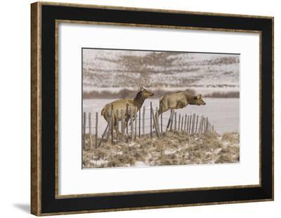 An Elk Easily Vaults a Range Fence as a Second Elk Prepares for the Leap-Richard Seeley-Framed Photographic Print