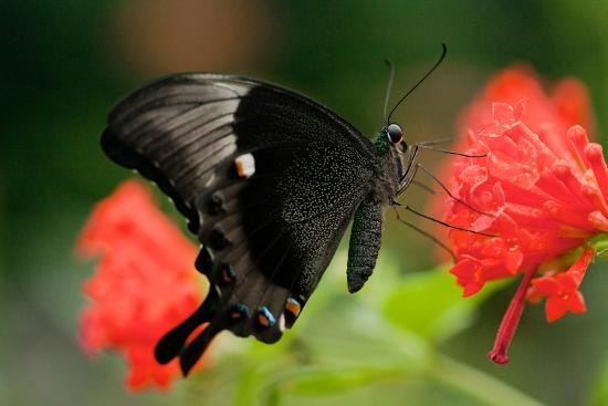 An Emerald Swallowtail Butterfly, Papilio Palinurus-Vickie Lewis-Photographic Print