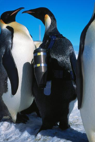 An Emperor Penguin, Aptenodytes Forsteri, with an Underwater Critter Cam Harnessed to its Back-Greg Marshall-Photographic Print