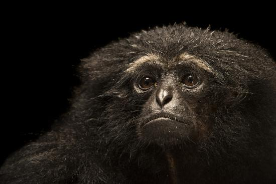 An endangered Agile gibbon, Hylobates agilis, at the Singapore Zoo.-Joel Sartore-Photographic Print