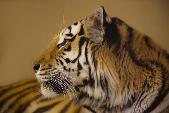 An Endangered Amur Tiger, Panthera Tigris Altaica-Joel Sartore-Photographic Print
