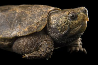 An Endangered Big-Headed Turtle at the National Mississippi River Museum and Aquarium-Joel Sartore-Photographic Print