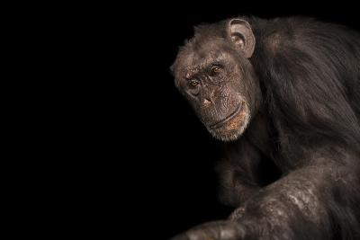 An Endangered Chimpanzee, Pan Troglodytes, at Rolling Hills Zoo.-Joel Sartore-Photographic Print