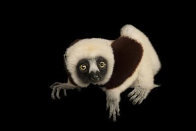 An Endangered Coquerel's Sifaka, Propithecus Coquereli, at the Houston Zoo.-Joel Sartore-Photographic Print