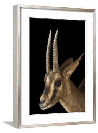 An Endangered Cuvier's Gazelle, Gazella Cuvieri, at the Living Desert in Palm Desert, California-Joel Sartore-Framed Photographic Print