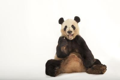 An Endangered Giant Panda, Ailuropoda Melanoleuca.-Joel Sartore-Photographic Print
