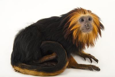 An Endangered Golden-Headed Lion Tamarin, Leontopithecus Chrysomelas, at the Dallas World Aquarium-Joel Sartore-Photographic Print
