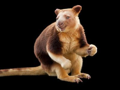 An Endangered Goodfellow's Tree-Kangaroo, Dendrolagus Goodfellowi-Joel Sartore-Photographic Print