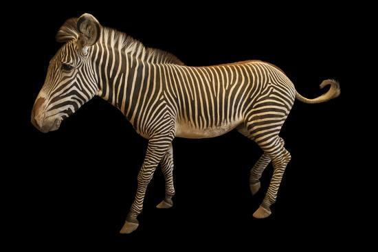 An Endangered Grevy's Zebra, Equus Grevyi.-Joel Sartore-Photographic Print