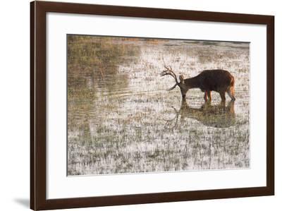 An Endangered Hard-Ground Barasinghas, Rucervus Duvauceli Branderi, Drinking Water-Roy Toft-Framed Photographic Print