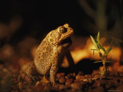 An Endangered Houston Toad-Joel Sartore-Photographic Print