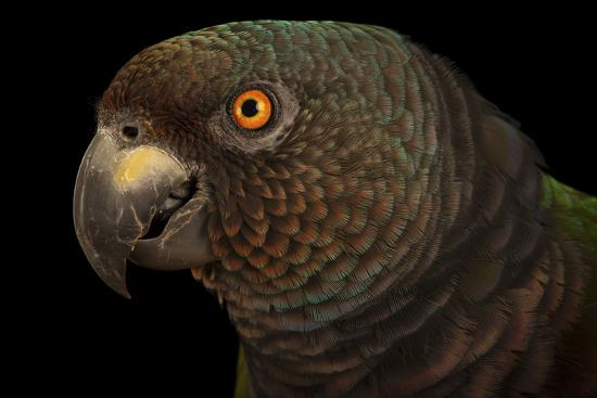 An Endangered Imperial Parrot at the Rare Species Conservatory Foundation, One of Two in Captivity-Joel Sartore-Photographic Print