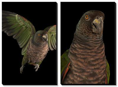 An Endangered Imperial Parrot at the Rare Species Conservatory Foundation-Joel Sartore-Canvas Art Set