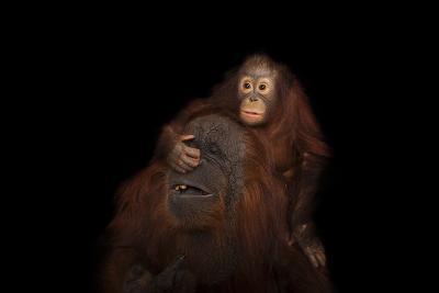 An Endangered Juvenile Bornean Orangutan, Pongo Pygmaeus, with Her Adoptive Mother.-Joel Sartore-Photographic Print