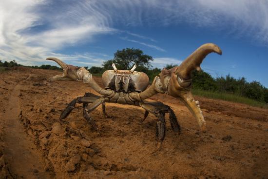 An Endangered Land Crab, Hydrothephusa Madagascariensis, from Madagascar-Cristina Mittermeier-Photographic Print