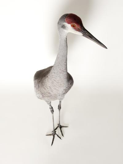 An Endangered Mississippi Sandhill Crane, Grus Canadensis Pulla-Joel Sartore-Photographic Print