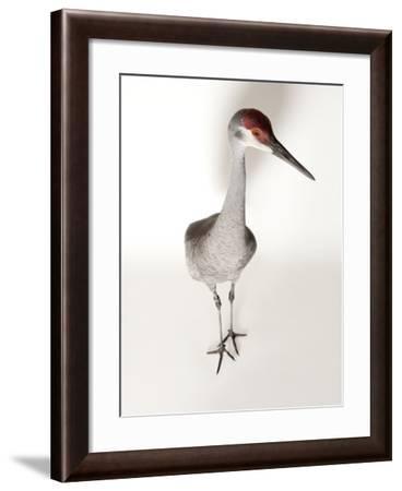 An Endangered Mississippi Sandhill Crane, Grus Canadensis Pulla-Joel Sartore-Framed Photographic Print
