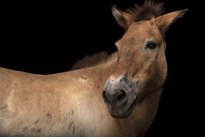 An Endangered Przewalski's Wild Horse, Equus Ferus Przewalskii, at the Gladys Porter Zoo.-Joel Sartore-Photographic Print