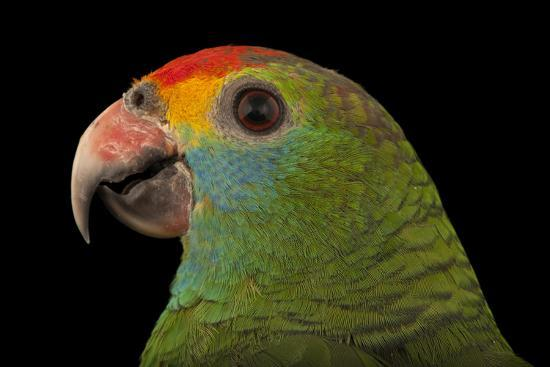 An Endangered Red-Browed Amazon Parrot at the Rare Species Conservatory Foundation-Joel Sartore-Photographic Print