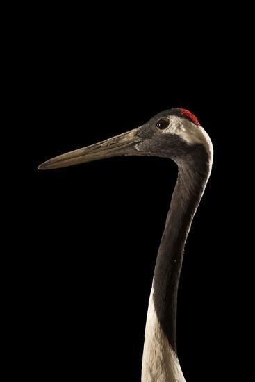 An Endangered Red-Crowned Crane, Grus Japonensis, at the Kansas City Zoo-Joel Sartore-Photographic Print