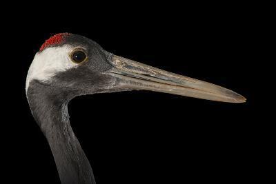 An Endangered Red-Crowned Crane, Grus Japonensis, at the Kansas City Zoo-Joel Sartore-Photographic Print