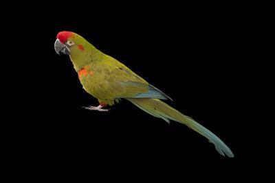 https://imgc.artprintimages.com/img/print/an-endangered-red-fronted-macaw-ara-rubrogenys-at-the-miller-park-zoo_u-l-pol1to0.jpg?p=0