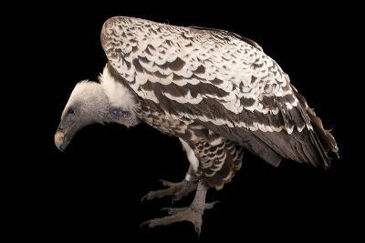 An Endangered Ruppell's Griffon Vulture at the Fort Wayne Children's Zoo-Joel Sartore-Photographic Print