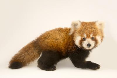 An Endangered Six Month Old Red Panda, Ailurus Fulgens, at the Virginia Zoo-Joel Sartore-Photographic Print