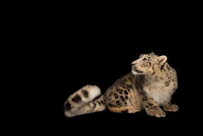 An Endangered Snow Leopard, Panthera Uncia, at the Miller Park Zoo-Joel Sartore-Photographic Print