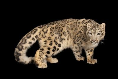 An Endangered Snow Leopard, Panthera Uncia, at the Miller Park Zoo-Joel Sartore-Photographic Print