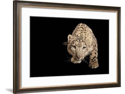 An Endangered Snow Leopard, Panthera Uncia at the Miller Park Zoo-Joel Sartore-Framed Photographic Print