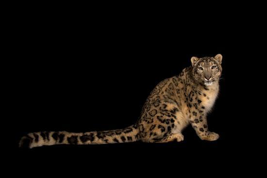 An Endangered Snow Leopard, Uncia Uncia.-Joel Sartore-Photographic Print