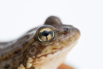 An Endangered Southern Mountain Yellow-Legged Frog, Rana Muscosa-Joel Sartore-Photographic Print