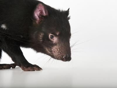 An Endangered Tasmanian Devil, Sarcophilus Harrisii-Joel Sartore-Photographic Print