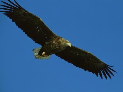 An Endangered White-Tailed Sea Eagle in Flight-Tim Laman-Photographic Print
