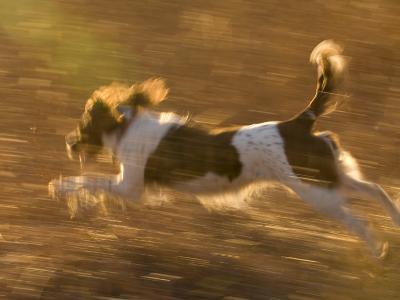 An English Springer Spaniel Runs Through a Field-Joel Sartore-Photographic Print