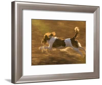 An English Springer Spaniel Runs Through a Field-Joel Sartore-Framed Photographic Print