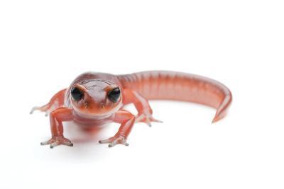 An Ensatina Salamander, Ensatina Eschscholtzii Eschscholtzii-Joel Sartore-Photographic Print