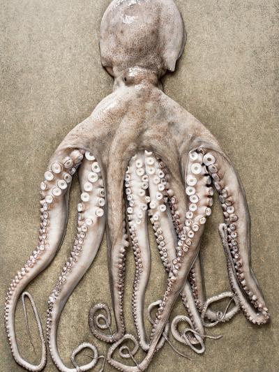 An Entire Octopus-Sarka Babicka-Photographic Print