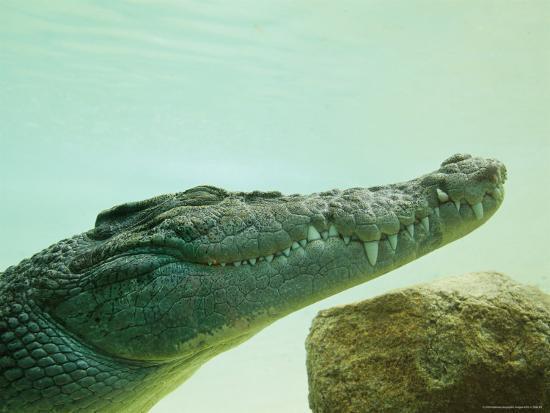 An Estuarine Saltwater Crocodile Underwater with Eyes and Jaw Shut-Jason Edwards-Photographic Print