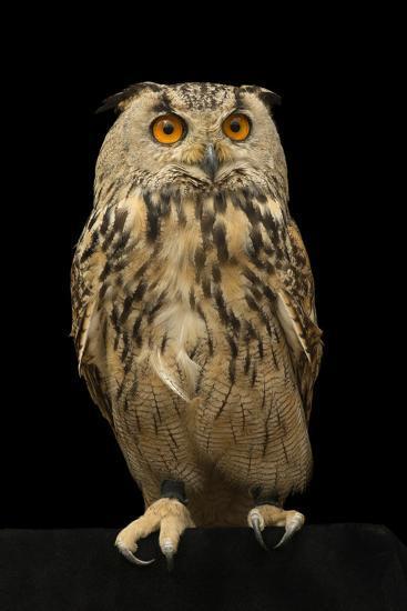 An Eurasian eagle owl, Bubo bubo omissus, at the Plzen Zoo.-Joel Sartore-Photographic Print