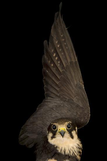 An Eurasian Hobby Falcon, Falco Subbuteo, at the Budapest Zoo-Joel Sartore-Photographic Print