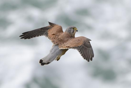 An Eurasian Kestrel, Falco Tinnunculus, Hovering While Hunting Rodents on Coastal Cliffs-Bertie Gregory-Photographic Print