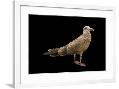 An European Herring Gull, Larus Argentatus, in Third Year Plumage.-Joel Sartore-Framed Photographic Print